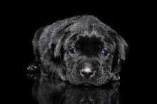 Labrador Puppy Lying On Black Background