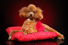 Toy Poodle Lying On A Red Pillow