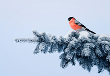 New Year Postcard Bird Bullfinch On A Branch Of A Festive Spruce With Shiny Hoarfrost Sits In A Beautiful Winter Park