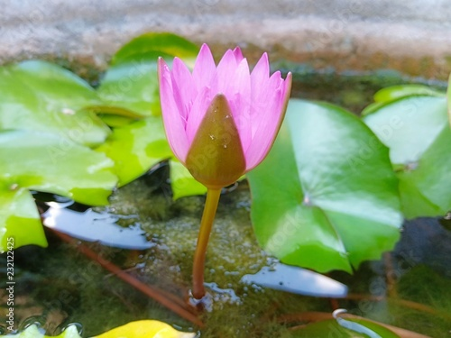 Foto op Canvas Lotusbloem Lotus in the park
