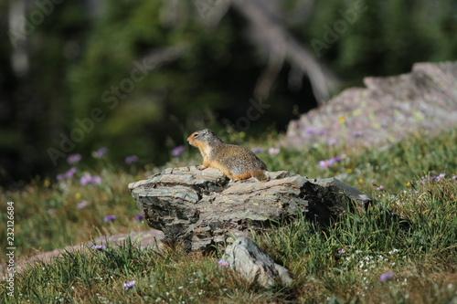 Fotografia, Obraz  Marmot in Glacier National Park