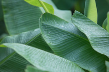 Banana Leaves On A Banana Tree, Banana Leaf Background, Dew On Banana Leaves