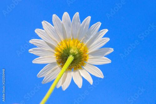 In de dag Madeliefjes Daisy on blue background