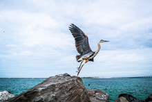 Heron Taking Off From Rock