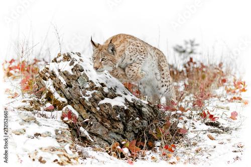 Photo  Pouncing Siberian Lynx