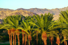 Palm Trees And The San Jacinto Mountains In Indian Wells, California