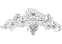 Hand Drawn Grape Branch With Berries