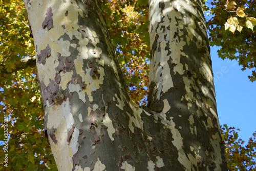 Platanus Tree Trunk With Autumnal Foliage Multi Colored Platanus