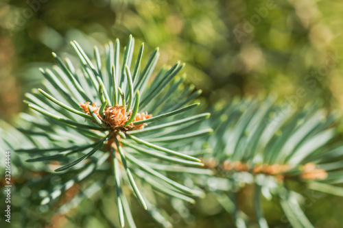 Fotografie, Obraz  The branches of spruce and pine close-up for postcards