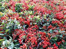 Countless Pyracantha Berries In A Hedge