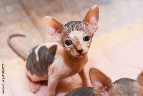 portrait of a bald cat, sphynx kitten spotted - Buy this stock photo