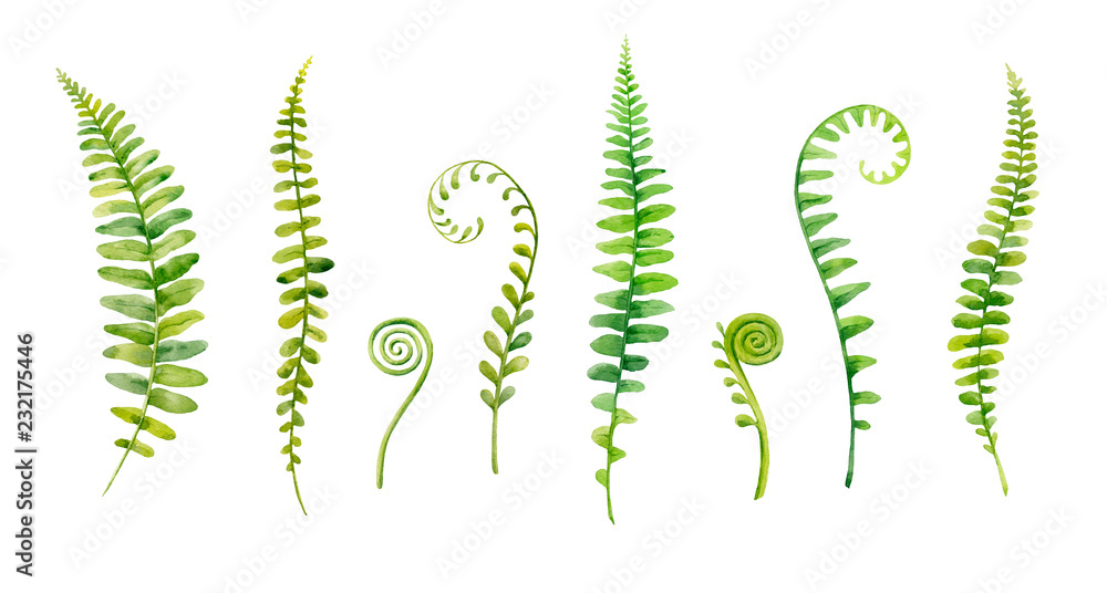 Fototapeta Watercolor hand painted leaves of fern plants on white background.