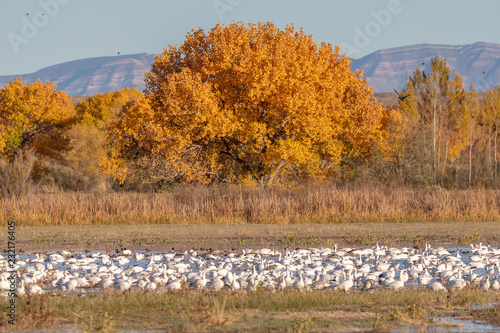 Fotografie, Obraz  Snow geese on pond in autumn at Bosque del Apache national wildlife refuge, new
