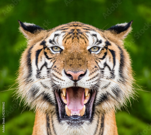 Spoed Foto op Canvas Tijger Tiger face close up