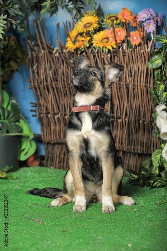 Fotografía  Half-breed shepherd puppy. Animal, behold.