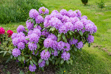 Purple Rhododendron In Full Bloom In Spring