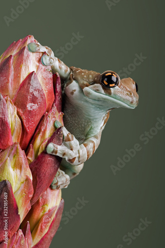 Mission Golden-eyed Tree Frog (Trachycephalus resinifictrix)/Mission Golden-eyed Tree Frog perched on tropical flower