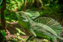 Costa Rica Basilisk Jesus Lizard