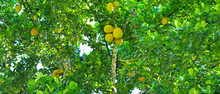 Breadfruit Tree With Ripe Fruits. Wide Photo.