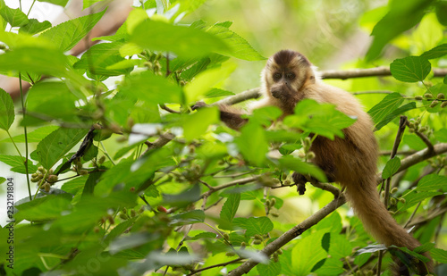 Fotobehang Aap a light-haired monkey capuchin sitting on a tree.