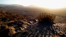 Wüsteneuphorbie Im Naukluftgebirge Namibia