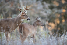 An Alert Buck Whitetail Deer W...