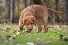 A Young Golden Retriever Dog S...