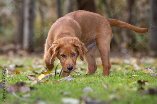 Fototapeta A young golden retriever dog sniffing the grass and leaves. obraz