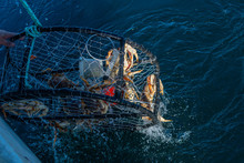 Crab Pot Being Pulled Out The ...