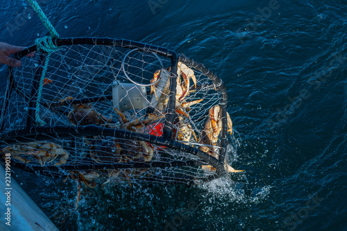 Crab pot being pulled out the ocean with dungeness crab in it Wallpaper Mural