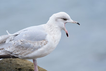 Portrait Of A Squawking Seagull