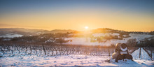Vineyards Rows Covered By Snow...