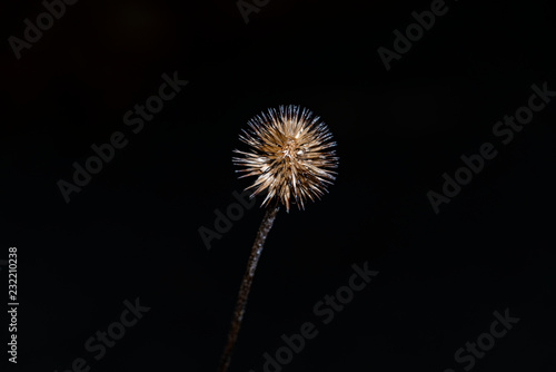 Fotografie, Obraz  Spent Bloom