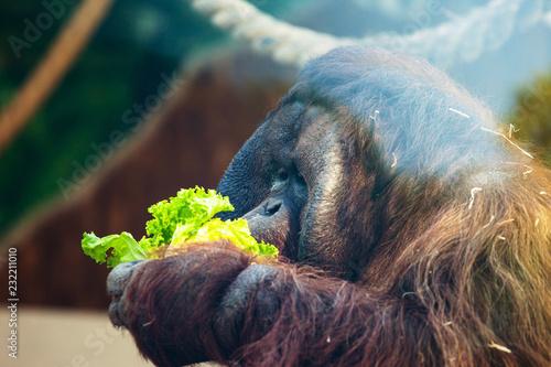 Foto op Plexiglas Aap orangutan eating lettuce