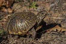Ornate Box Turtle On The Prairie
