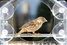 One Female Gray House Finch Bird Sitting Perched On Plastic Glass Window Feeder, Sunny Day, Looking Up In Virginia, Sunflower Seeds