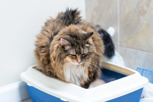 Closeup Of Calico Maine Coon Cat Overweight Constipated Sick Trying To Go To The Bathroom In Blue Litter Box At Home Sad Looking Down