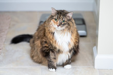 Calico Maine Coon Cat Sitting In Bathroom Room In House By Weight Scale, Overweight, Fat, Obese Feline