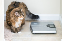 Calico Maine Coon Cat Standing Looking Up In Bathroom Room In House By Weight Scale, Overweight Obese Feline