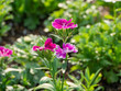 Dianthus Chinensis in a park