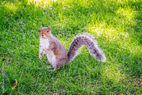 Fotografia, Obraz  A Fox Squirrel in Albany, New York
