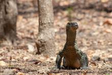 Young Komodo Dragon Standing U...