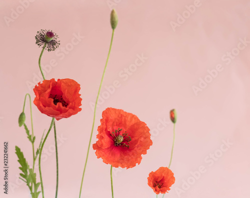 Beautiful red poppies with its buds and leaves on pink background