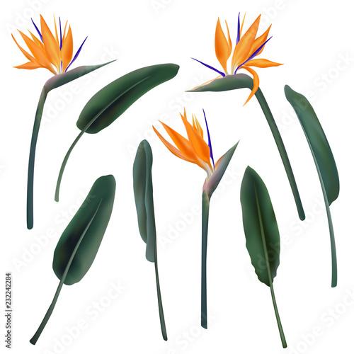 Fototapeta Strelitzia Reginae flower vector illustration collection isolated on white. Green leaves, orange and violet blossom realistic design set. South African plant, so called crane or bird of paradise. obraz na płótnie