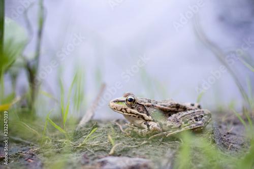 Tuinposter Kikker frog close-up on the river Bank, wildlife