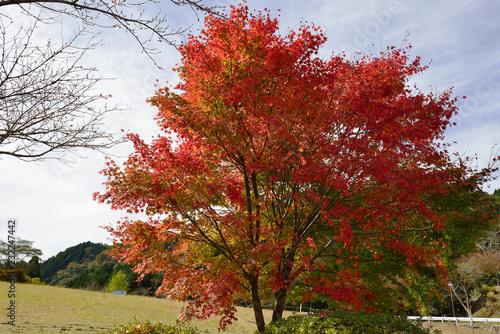 Deurstickers Rood paars 鶴見岳山麓の紅葉