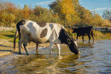 Cows Drink Water On The Lake