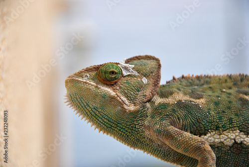 Staande foto Kameleon El camaleón de perfil