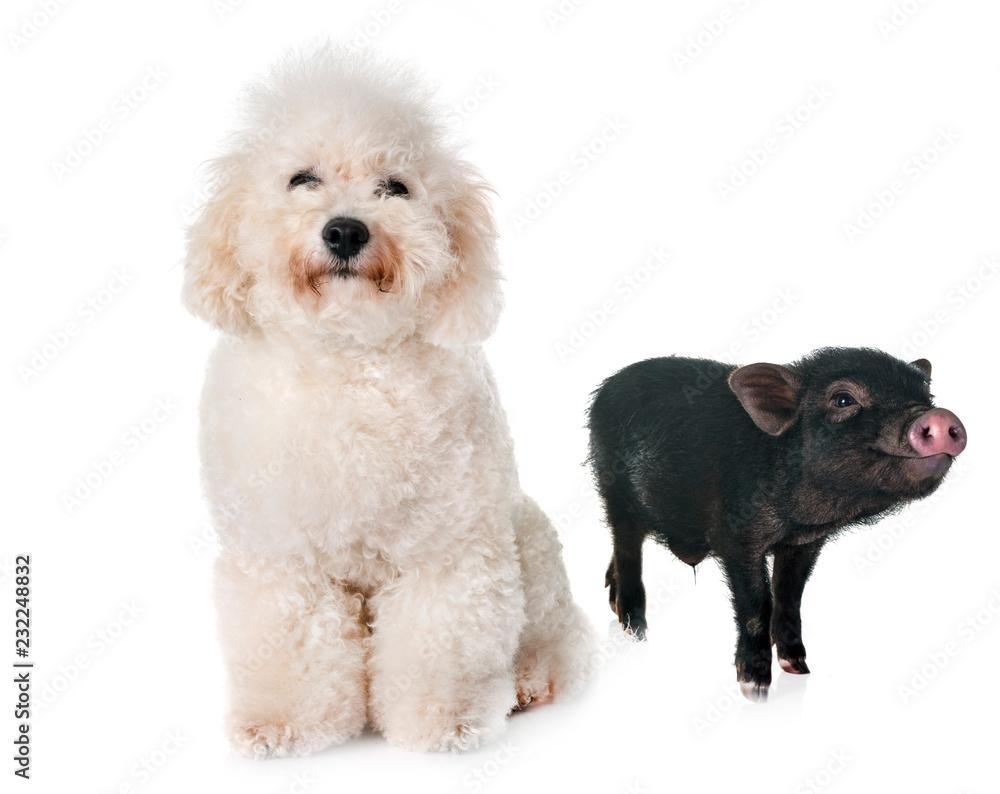 vietnamese pig and bichon