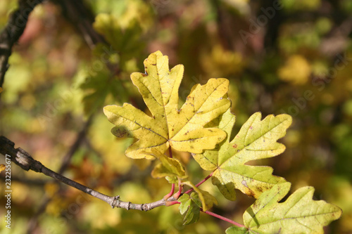 Field Maple Tree With Yellow Leaves In Autumn Acer Campestre In The